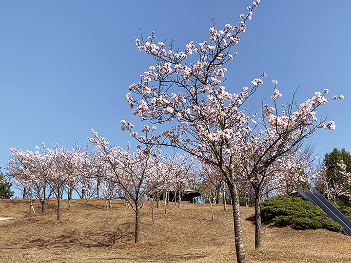 桜_やすらぎの園