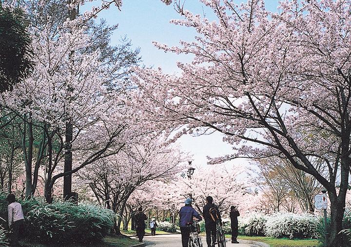桜_鏡山公園